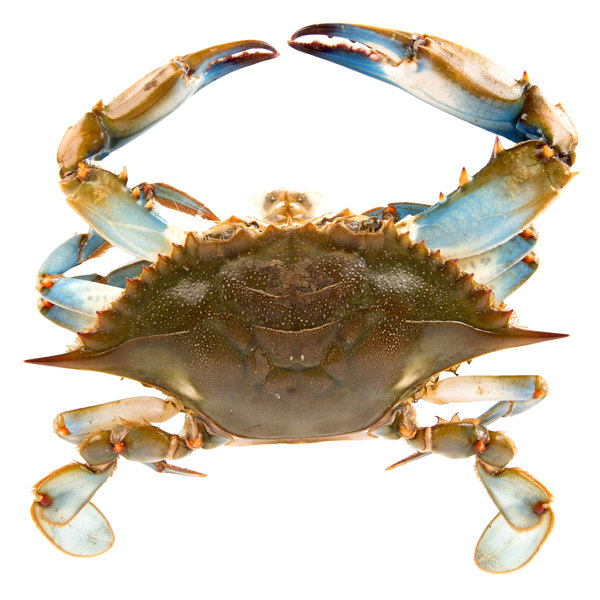 Linton's Seafood 6 1/2 inch Live Jumbo Maryland Blue Crabs - 12/Case