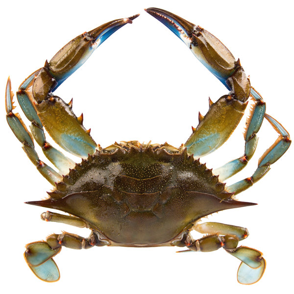 Linton's 5 3/4 inch Live Large Maryland Blue Crabs - 36/Case