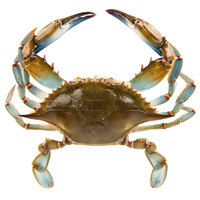 Linton's Seafood 5 1/4 inch Live Medium Maryland Blue Crabs - 12/Case