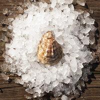 Rappahannock Oyster Co. 200 Count Live Olde Salt Oysters