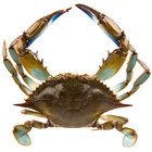 Linton's Seafood 5 3/4 inch Live Large Maryland Blue Crabs - 72/Case